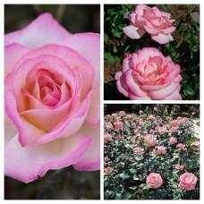 Роза чайно-гибридная Принцесса де Монако ОКС