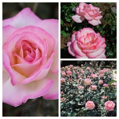 Роза чайно-гибридная Принцесса де Монако C4