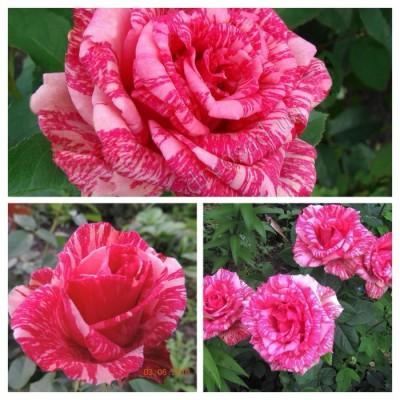 Роза чайно-гибридная Пинк интуишен ОКС
