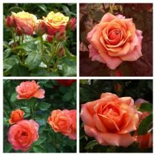 Роза чайно-гибридная Черри Бренди ОКС