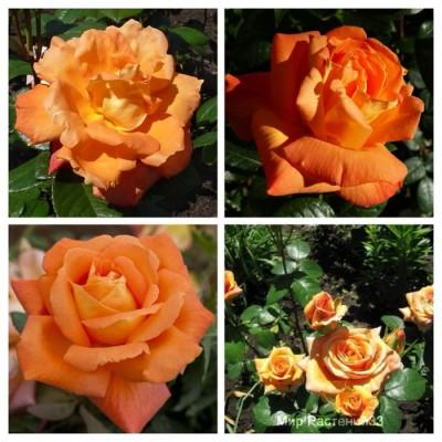 Роза чайно-гибридная Луи Де Финес C4