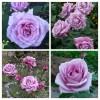 Роза чайно-гибридная Голубой Нил ОКС