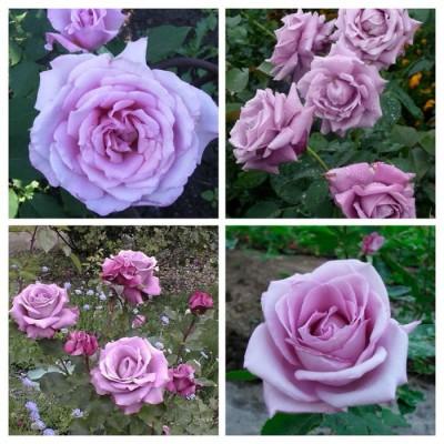 Роза чайно-гибридная Голубой Нил C4