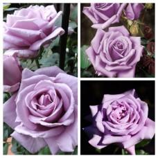 Роза чайно-гибридная Блю Мун ОКС