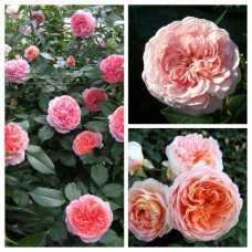Роза английская Абрахам Дерби C4
