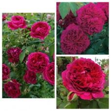 Роза английская Вильям Шекспир C4