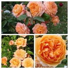Роза английская Кинг Артур C4