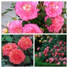 Роза английская Кристофер Мерлоу C4