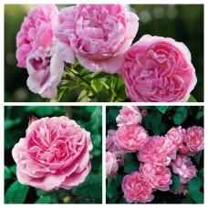 Роза английская Мэри Роуз C4