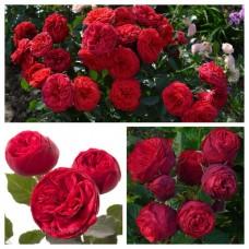 Роза английская Пиано C4