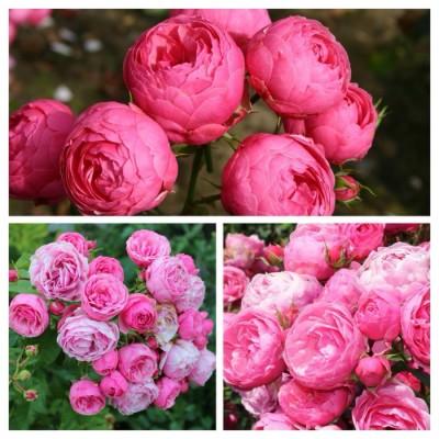 Роза английская Помпонелла C4