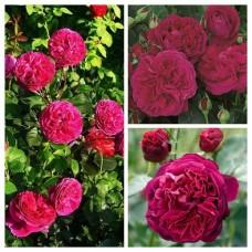 Роза английская Фальстафф C4