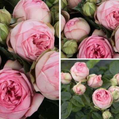 Роза английская Чарминг Пиано ОКС