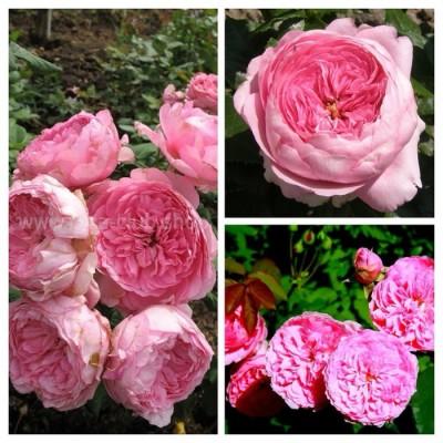 Роза английская Элоди Госсини C4