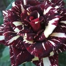 Роза флорибунда Абракадабра C4