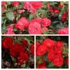 Роза флорибунда Торнадо C4