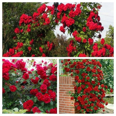 Роза плетистая Амадеус C4