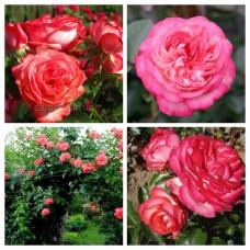 Роза плетистая Антик C4
