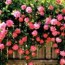 Роза плетистая Жасмина C4