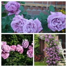 Роза плетистая Индиголета C4
