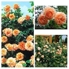 Роза плетистая Полька C4