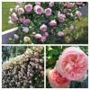 Роза плетистая Эден Роуз C4