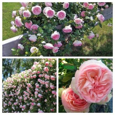 Роза плетистая Эден Роуз ОКС