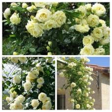 Роза плетистая Эльф C4