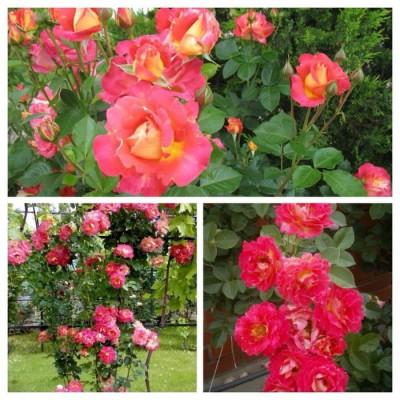 Роза плетистая Декор Арлекнин C4