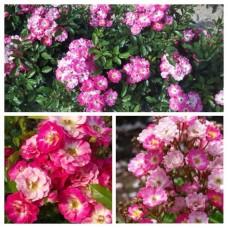 Роза бордюрная миниатюрная Дагенхарт C4