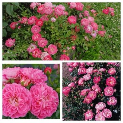 Роза бордюрная миниатюрная Шармант C4