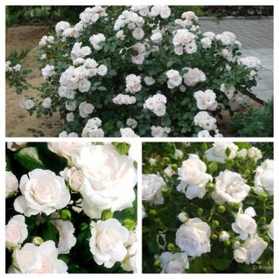 Роза почво-покровная Аспирин C4