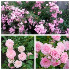 Роза почво-покровная Зе Фейри C4