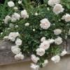 Роза почвопокровная Свани ОКС ПРЕДЗАКАЗ