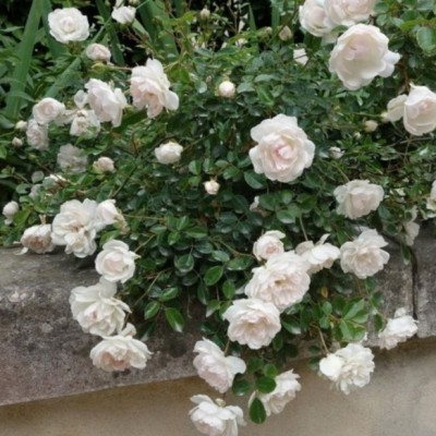 Роза почво-покровная Свани ОКС