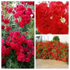 Роза почво-покровная Скарлет C4