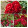 Роза почвопокровная Фейри Данс C1,5