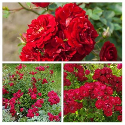 Роза почво-покровная Фейри Данс C4