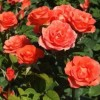 Роза спрей (патио) Аллегрия C4