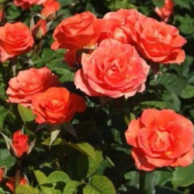 Роза спрей (патио) Аллегрия ОКС