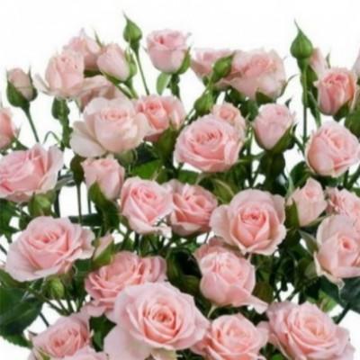 Роза спрей (патио) Классик Лидия C4
