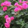 Роза спрей Лав Лидия C4