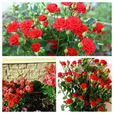 Роза спрей (патио) Мирабель C4
