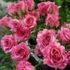 Роза спрей Пинк Флеш C4