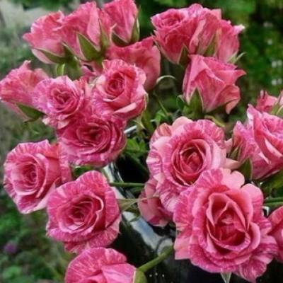 Роза спрей (патио) Пинк Флэш C4
