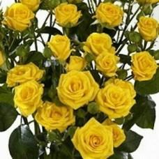 Роза спрей (патио) Сан Сити ОКС