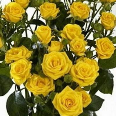 Роза спрей (патио) Сан Сити C4