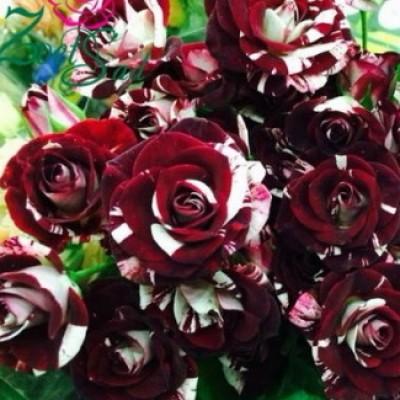 Роза спрей (патио) Флэш Найт C4