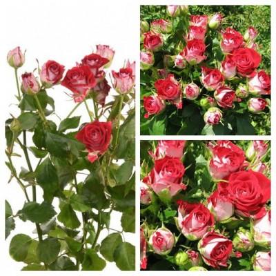 Роза спрей Руби Стар C4