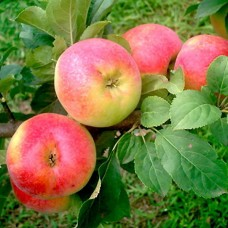 Яблоня Ауксис C6